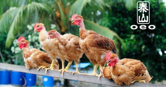 Toh Thye San Farm Poultry Supplier